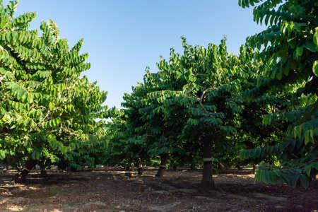Plantations of cherimoya custard apple fruits in Granada-Malaga Tropical Coast subtropical region, Andalusia, Spain, green cherimoya growing on tree