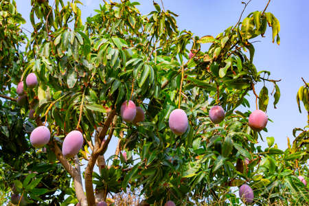 Cultivation of exotic sweet fruit mango in subtropical Malaga-Granada tropical coast region, Andalusia, Spain, plantations of mango trees ready to harvest Stock Photo