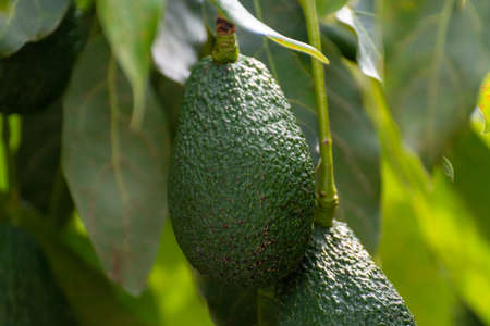 Cultivation on farms of tasty hass avocado trees, organic avocado plantations in Costa Tropical, Andalusia, Spain close up 免版税图像