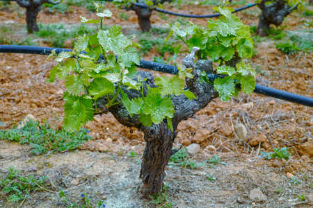 Old trunks and young green shoots of wine grape plants in rows in vineyard in spring, wine production in Greece