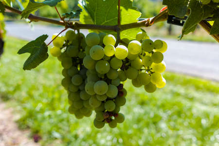 Vineyard with growing white wine grapes, riesling or chardonnay grapevines in summer Stock Photo