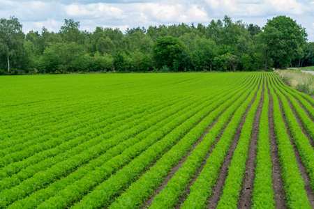 Farming field with green carrot plants growing in rows