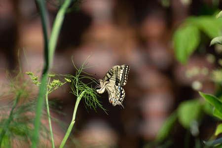 Bunter Schmetterling sitzt auf grüner Fenchelpflanze hautnah