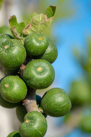 Green unripe fig fruits growing on tree close up