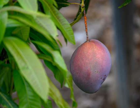 Eco farming on La Palma island, plantations with organic mango trees with many sweet ripe  mango fruit ready for harvest, Canary islands, Spain, close up