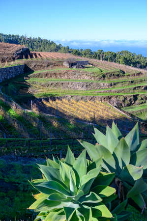 Sunny winter landscape with view on terraced vineyards located above clouds level on mountains slopes near village Puntagorda, north wine production region on La Palma island, Canary, Spain Stockfoto