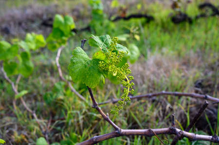 Young green shoots on grape plant vines in spring, Tenerife island, Canary, Spain