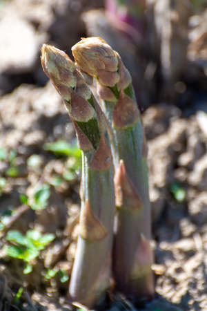 Green asparagus sprouts growing on bio farm field in Limburg, Belgium