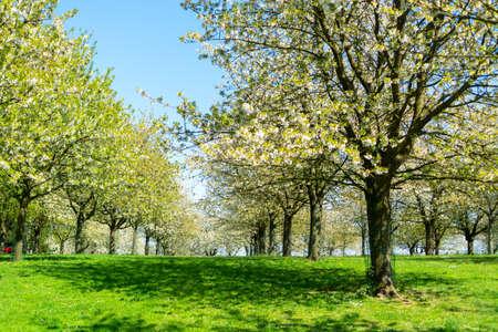 Fleur de printemps des cerisiers en verger, région fruitière Haspengouw en Belgique, paysage naturel