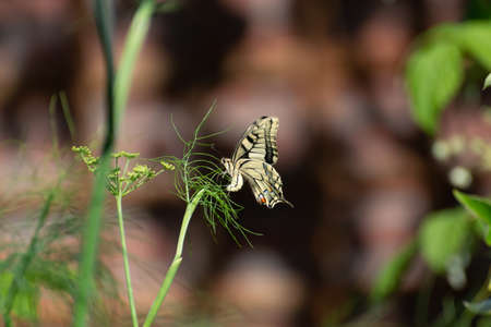 Colorful butterfly sitting on green fennel plant close up