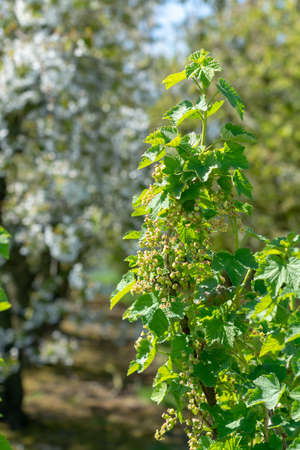 Blossom of red currant berries plant in spring