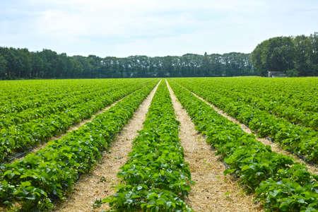 Grüne Frühlingsfelder mit Reihen von Bio-Erdbeerpflanzen Standard-Bild