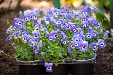 Spring garden works, ready for planting in soil ornamental colorful flowers of viola plant close up