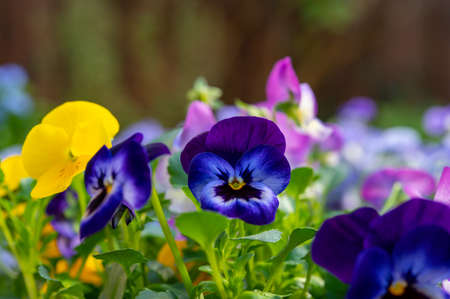 Spring garden works, ornamental colorful flowers of viola plant close up