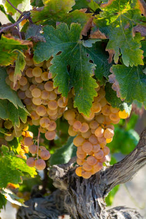 Ripe white grape growing on special light soil in Andalusia, Spain, sweet pedro ximenez or muscat, or palomino grape ready to harvest, used for production of jerez, sherry sweet and dry wines Stock Photo