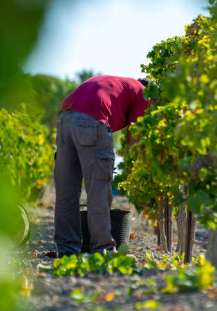 Unindefined man works on harvesting of ripe white grapes in Andalusia, Spain, sweet pedro ximenez or muscat, or palomino grape ready to harvest, used for production of jerez, sherry sweet and dry wines