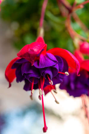 Colorful fuchsia plant in hanging flower pot Standard-Bild