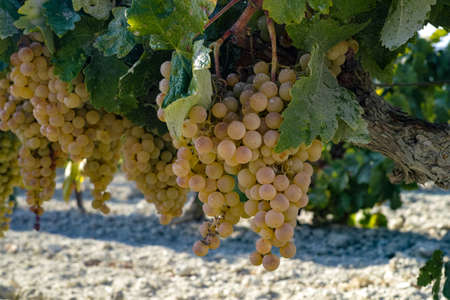 Ripe white grape growing in vineyard in Andalusia, Spain, sweet pedro ximenez or muscat, or palomino grape ready to harvest, used for production of jerez, sherry sweet and dry wines