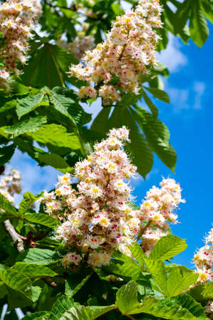 Spring white blossom of chesnut trees and pollination on flowers by bees close up Фото со стока