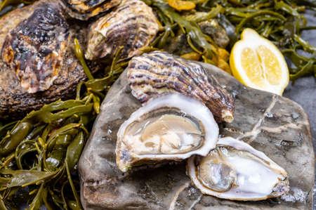 Fresh pacific or japanese oysters molluscs shucked on stone with kelp seaweed background ready to eat close up
