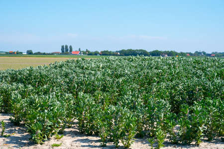 Plantation of broad beans or Vicia faba plants in Zeeland, Netherlands in sunny day 写真素材