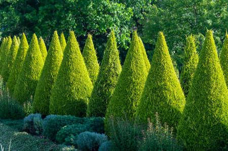 Well groomed green conical thuja coniferous trees in garden Standard-Bild