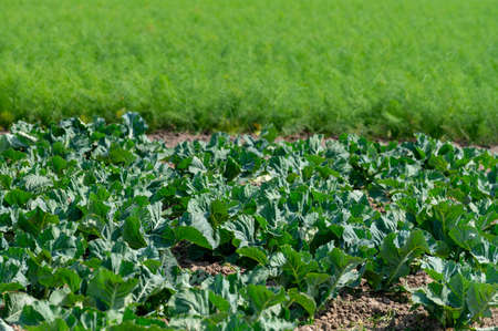 Farm field with growing green broccoli cabbage and florence fennel plants in sunny day Standard-Bild