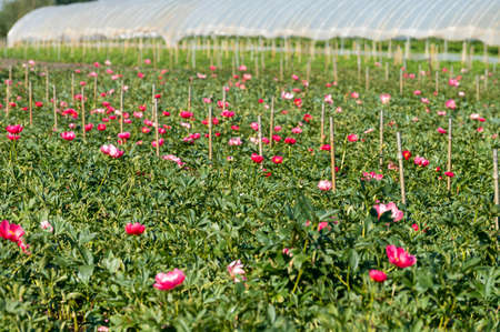 Blossom of pink peony flowers on farm field in Netherlands in sunny day Standard-Bild
