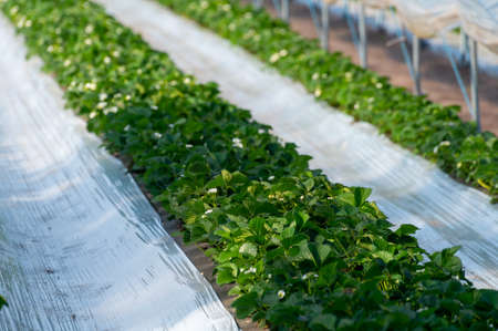 Cultivation of strawberry fruits using the plasticulture method, plants growing on plastic mulch in walk-in greenhouse polyethylene tunnels Standard-Bild