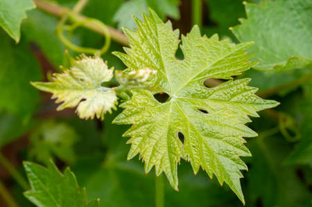 Young green leafs of grape plant in vineyard
