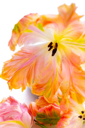 Colorful pink salmon parrot tulips on white background copy space floral concept