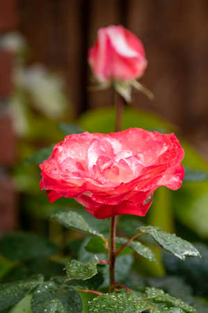 Blossom of hybrid pink rose in garden after rain close up