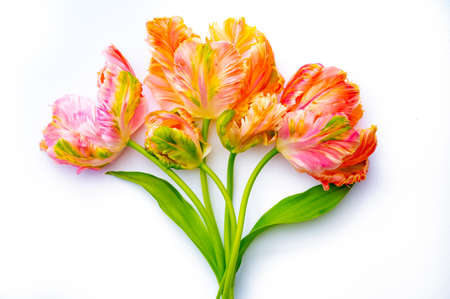 Colorful pink salmon parrot tulips on white background copy space top view, celebration card, decotation or wallpaper concept Standard-Bild