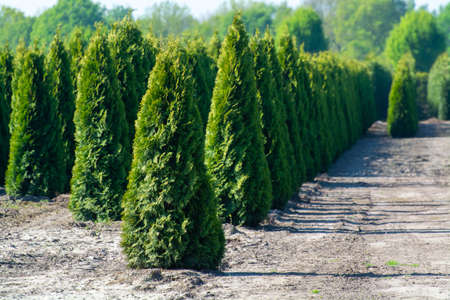 Plantation with rows of thuja, coniferum, cyprus, pine trees in different shapes in sunny day Stock Photo