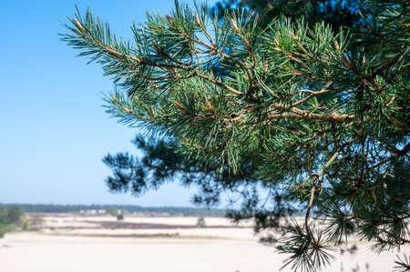 Desert nature landscapes in national park De Loonse en Drunense Duinen, North Brabant, Netherlands in sunny day 版權商用圖片
