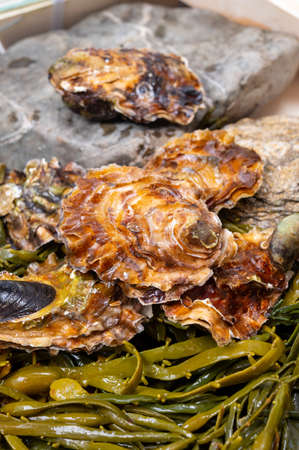 Fresh zeeuwse creuse pacific or japanese oysters molluscs on fish market in Yerseke, Netherlands Imagens