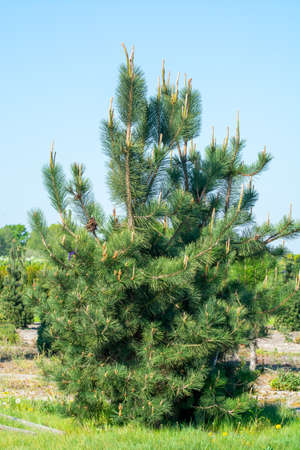 Plantation with rows of thuja, coniferum, cyprus, pine trees in different shapes in sunny day