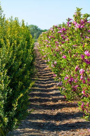 Plantation with rows of evergreen garden decorative magnolia trees with pink blossom flowers in sunny day Imagens
