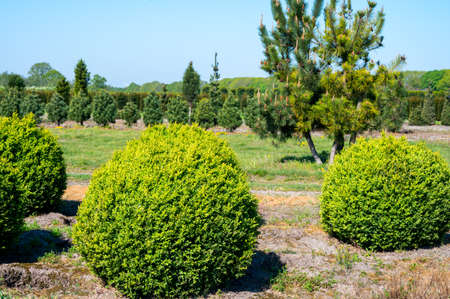Plantation with rows of evergreen buxus boxwood plants in ball shape