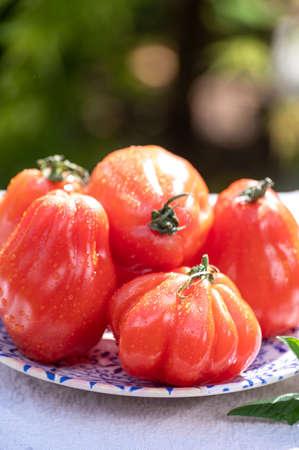 Fresh ripe red beefsteak or coeur de boeuf tomatoes in garden