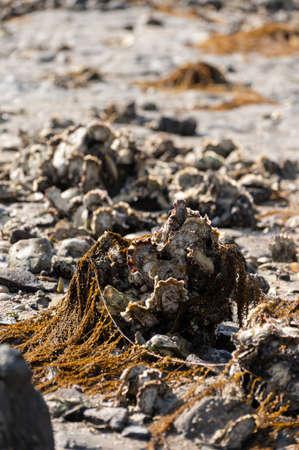 Seasonal harvesting of wild oysters shellfish on sea shore during low tide in Zeeland, Netherlands 版權商用圖片