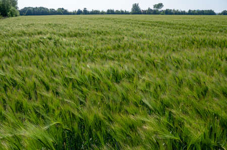 Spring barley grain fields with unripe green crops, main ingredient for whisky drink