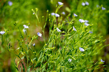 Botanical collection of medicinal and edible plants, Flax or Linum usitatissimum or linseed, food and fiber crop in summer Фото со стока