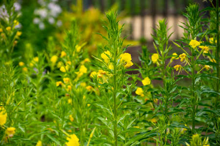 Botanical collection of medicinal plants and herbs, Oenothera parviflora or northern evening primrose used aromatherapy and medicine in summer