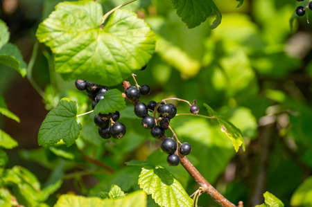 Botanical collection of edible plants and herbs, blackcurrant Ribes nigrum or cassis wooden shrub with ripe berries Фото со стока