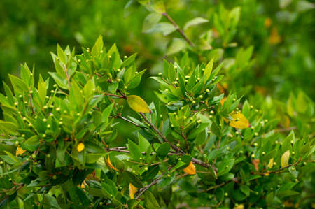 Botanical collection of medicinal plants and herbs, Myrtus communis or true myrtle plant used in aromatherapy and medicine Standard-Bild