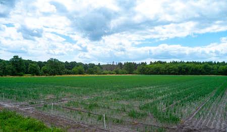 Cultivation of green onion vegetables on farm field in Belgium Standard-Bild