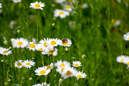 Botanical collection of medicinal plants, Chamaemelum nobile or Roman chamomile, English or garden chamomile flowers in blossom Фото со стока