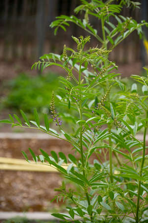 Botanical collection of medicinal and edible plants and herbs, Liquorice (or licorice, Glycyrrhiza glabra plant in summer