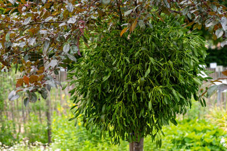 Botanical collection of medicinal or decorative plants and herbs, Viscum album or European mistletoe parasitic plant in summer